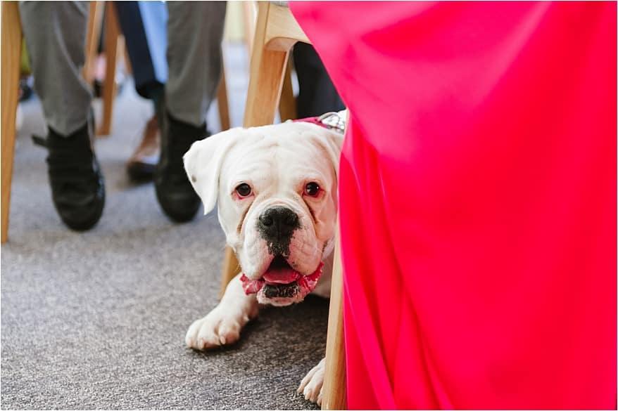 Boxer dog at a trebah garden wedding