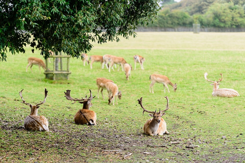 Deer at Prideaux Place in Padstow 101